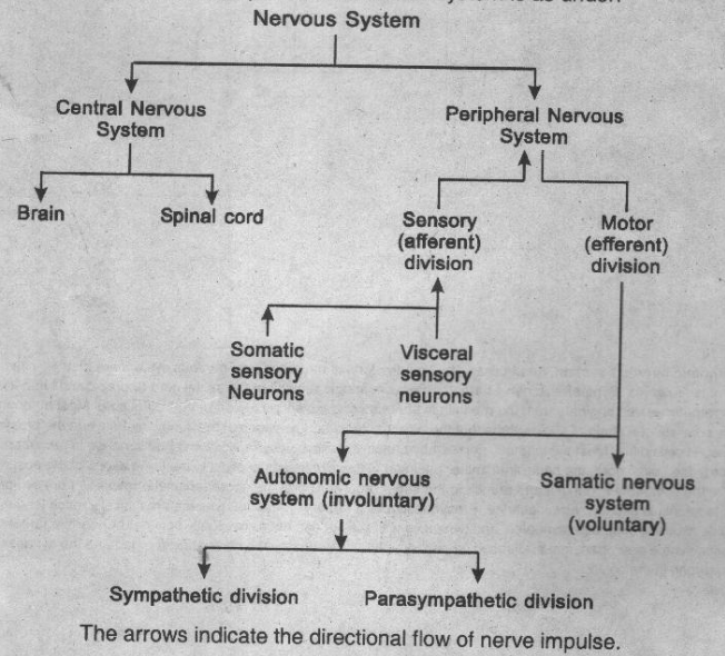 Give a brief account of the functional components of the vertebrate a summery of main components of nervous system is as under ccuart Choice Image