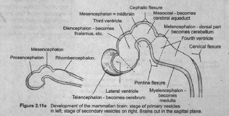 What are the main partsdivisions of vertebrate human brain 1234 ccuart Images
