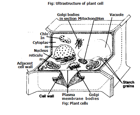 Ultrastructure of plant cell biology boom similar articles cell ccuart Images