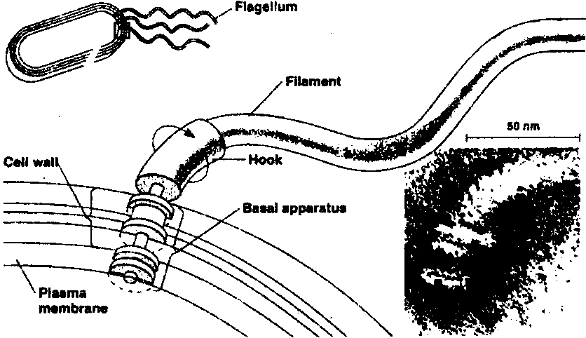 Locomotory Organ Flagella