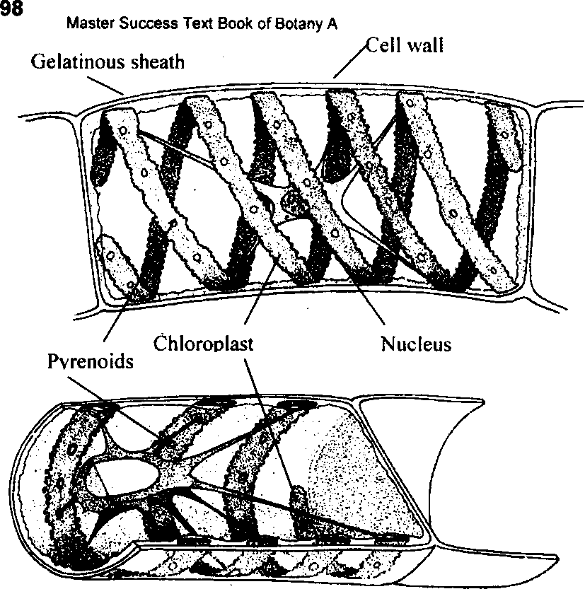 Type spirogyra occurance cell structure and reproduction cell of filament of spirogyra ccuart Images