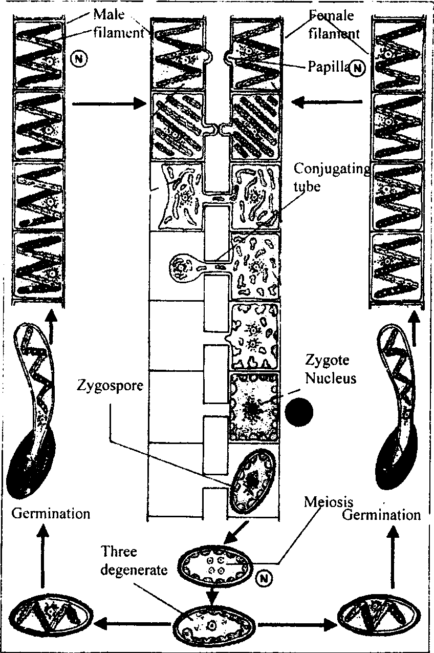 Spirogyra sexual reproduction