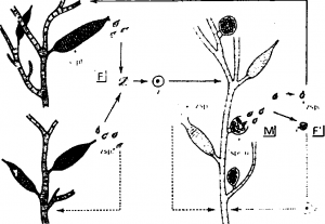 Sexual reproduction of Ectocarpus