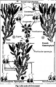 life cycle of Ectocarpus