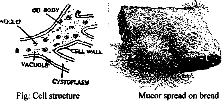 Izygoiv1ycotai types mucor only for bs biology boom reproduction the fungus mucor may reproduce by ccuart Gallery