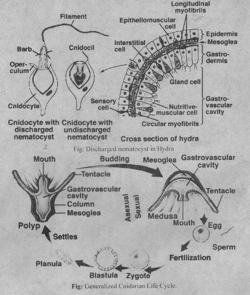 Coelenterates asexual reproduction worksheet