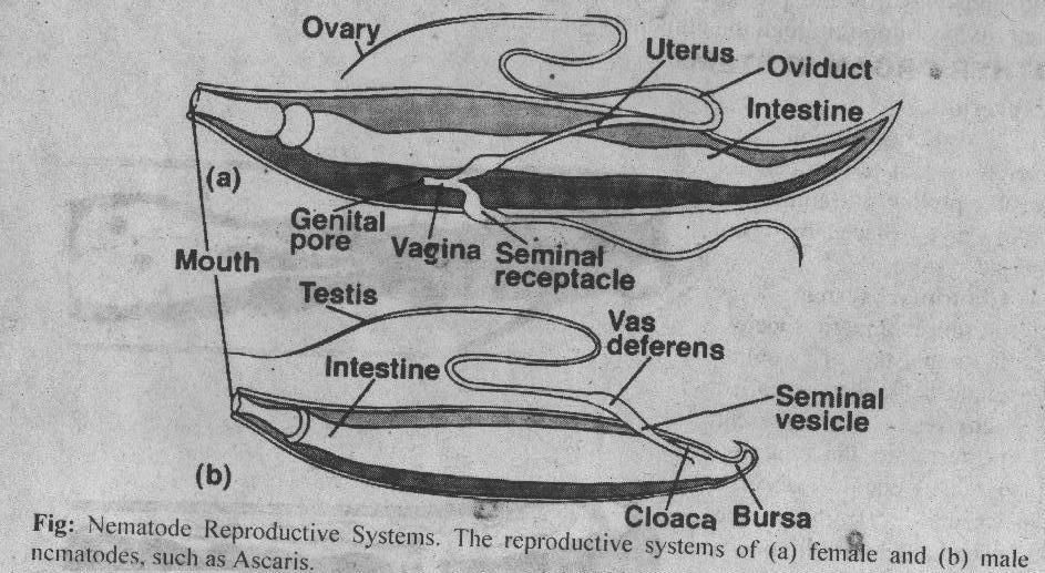 Phylum Nematoda Nemtuos Thread Features Reproductive System
