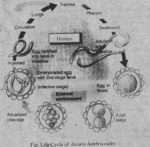 life cycle of Ascris lumbricoides