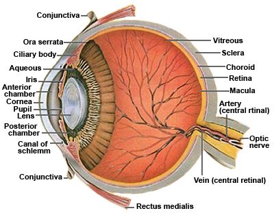 Describe the structure of vertebrate eye. | Biology Boom