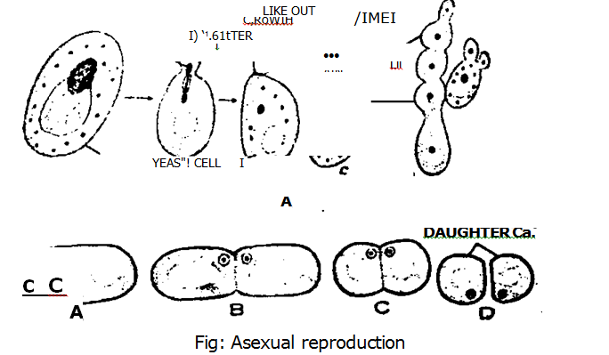 Asexual reproduction budding in yeast cells