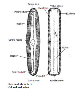 Pinnularia general structure and cell walls