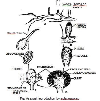 Vegetative reproduction asexual reproduction in fungi
