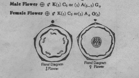 Cucurbitaceae Floral formula and floral diagram