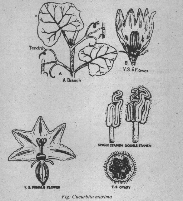 Cucurbitaceae Floral formula and floral diagram 2