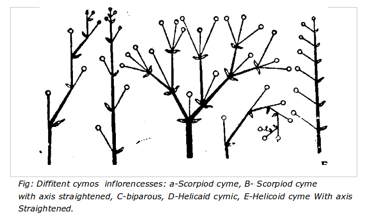 Different Cymos inflorescence