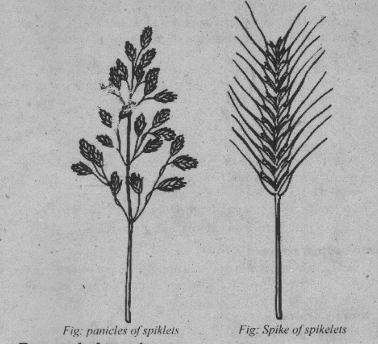 Poaceae gftamineae monocot grass family characteristics and poaceae floral formula and floral diagram selection013 selection014 ccuart Image collections