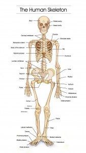 detailed-human-skeleton-diagrams
