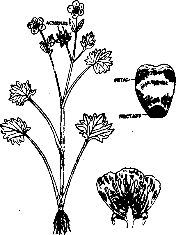 ranunculaceae family floral formula   characters