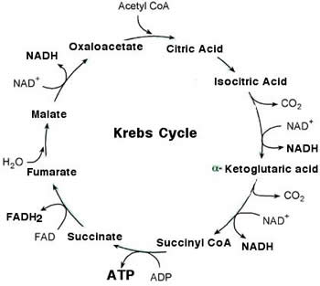 Krebs cycle (Tricarboxylic Acid Cycle) its steps & products ...