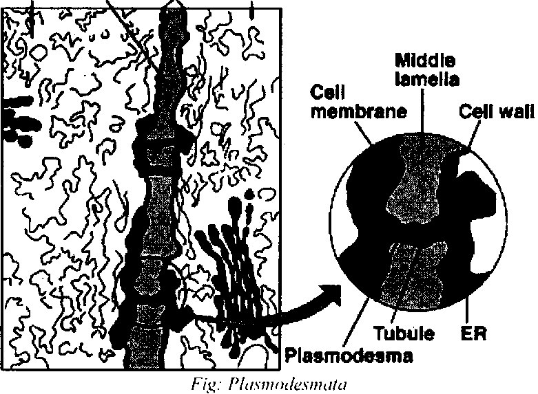 Cell Wall Of Plant Anatomy Development