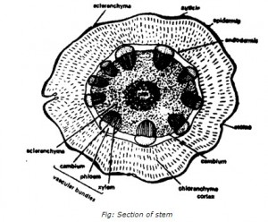 Section of Stem