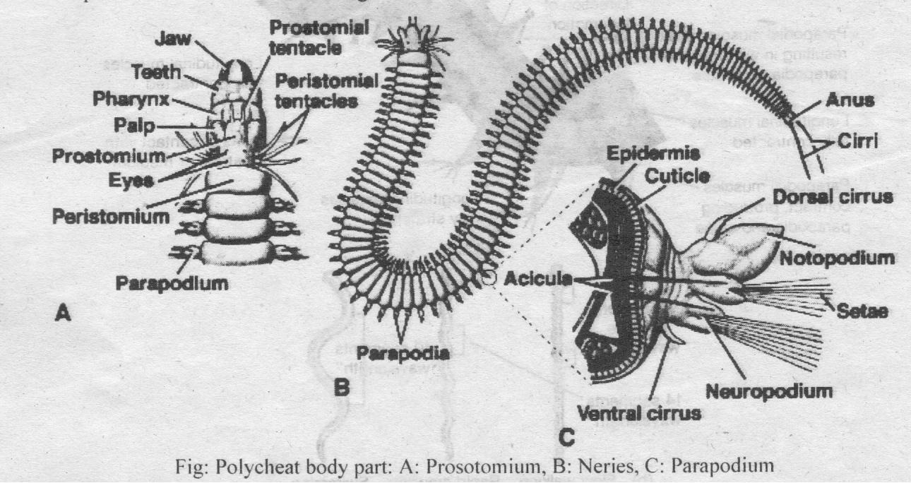Class Polychaeta (Poly, many + chaise, hair) | Biology Boom