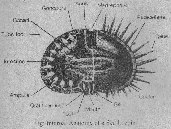 CLASS ECHINOIDEA (Or. echinos, spiny + oeides, in the form of ...