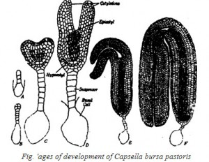Ages of development of capsella bursa pastorts