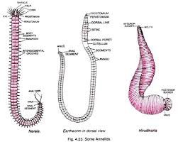 Classification of Annelids