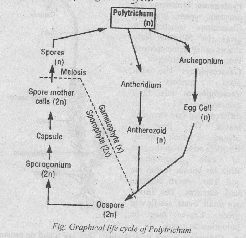 type polytrichum occurrence structure reproduction life cycle rh biologyboom com  labelled diagram of polytrichum