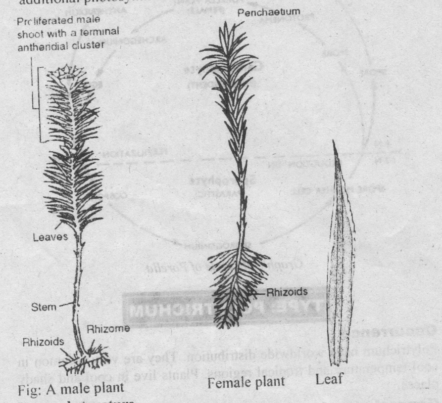 Type Polytrichum - Occurrence , Structure & reproduction life cycle ...