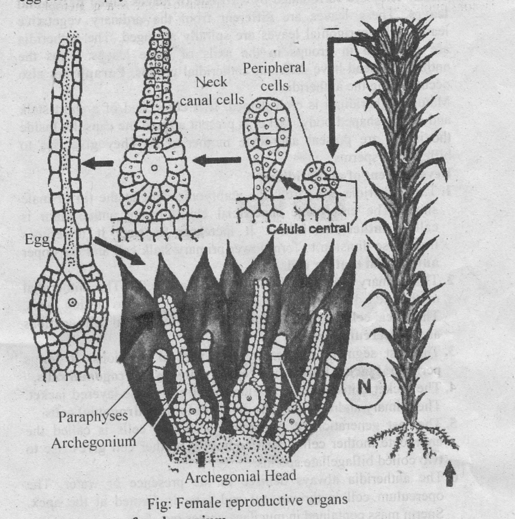 type polytrichum occurrence structure reproduction life cycle rh biologyboom com labelled diagram of polytrichum diagram of polytrichum commune